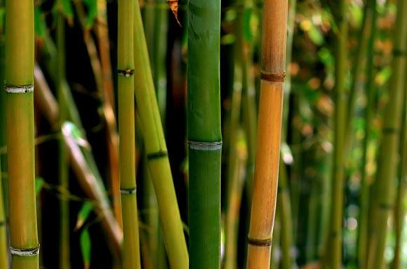 thailand bamboo
